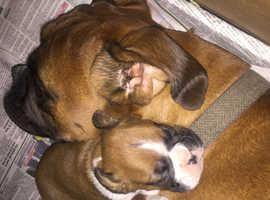 Champion Bloodline Boxer Puppies