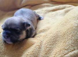 Beautiful Lhasapoo puppies
