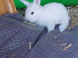 4 giant lop bunnies for sale.