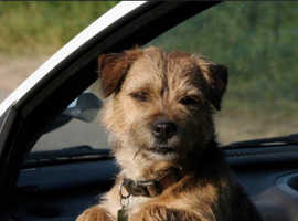 Wanted Border terrier cross Jack Russell