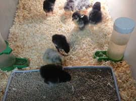 Pekin bantams chicks