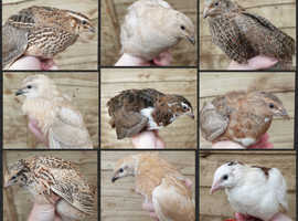 Point of lay Japanese / coturnix quail