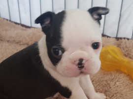 beautifull boston terrier pupps