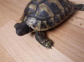 Hermann Tortoises 2017 and 2018