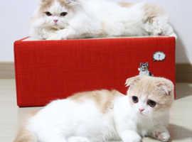 coordinated Munchkin kitten