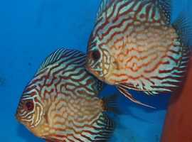 Breeding pairs of Red Turquoise Discus fish for sale