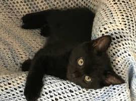1 male kitten left! Ready now