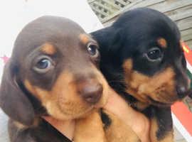 Beautiful mini dashhound pups