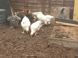 7 Cockerals to be Rehomed