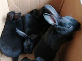 5 Black mini rex babies, 8 weeks old
