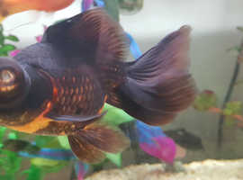 2 butterfly telescope goldfish in need of a new home