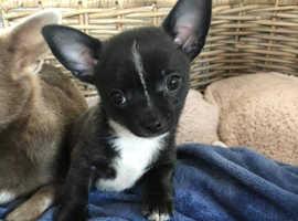 KC reg Chihuahua puppy Rare black