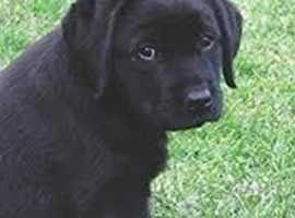 WANTED Labrador Puppy £650-750!