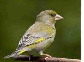 Avairy bred bird a male £30