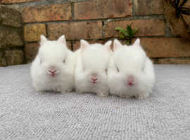 Netherland Dwarfs - All reserved
