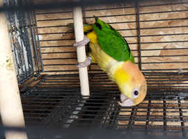 Beautiful Yellow Thighed Caique Available and ready NOW!