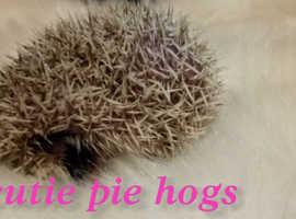 Beautiful baby pygmy hedgehog hoglet ready now