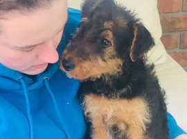 Kc registered Airedale terrier.