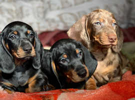 Cutes chunky puppies pure breed available now 8 weeks old