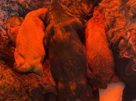 Stunning bernadoddle pups