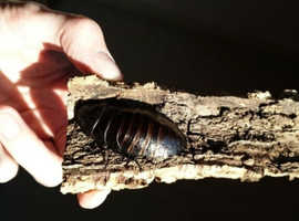 Madagascan hissing cockroaches - 9
