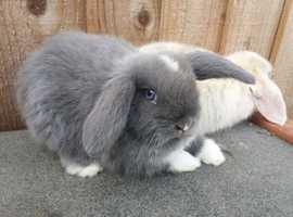 Male Grey Bunny