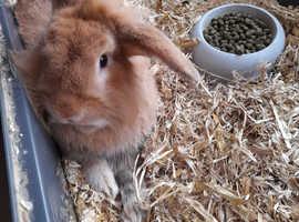 16 week old rabbit male