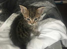 Kitten 6 1/2 weeks