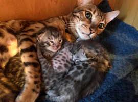 Bengal Kitten - Tica Registered