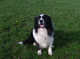 Outstanding Quality Puppies Long Coated B/W Border Collie Pups