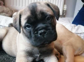 Incredibly cute litter of Bullmastiff Puppies