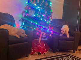 Two stunning Labrador puppies