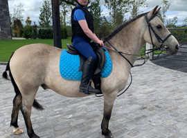 12.2 Dun Schoolmaster gelding pony