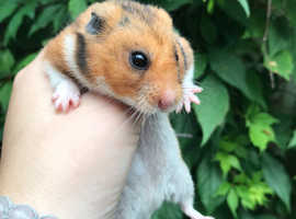 Beautiful male Syrian hamster from show stock