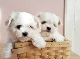 KC registered Maltese puppy