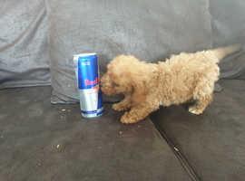 Miniature poodle for sale