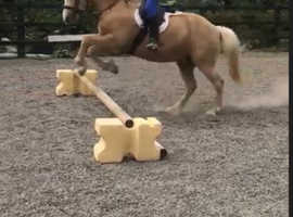 Welsh Section D - 14:2hh Palomino Gelding