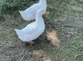 Pair of Aylesbury ducks