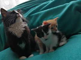 lovely kittens boy ginger and white / black girl