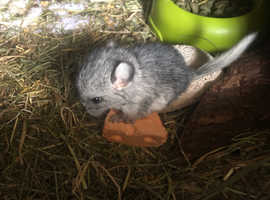 Baby chinchillas for sale