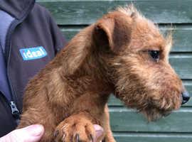lakeland puppies for sale essex
