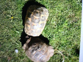 PROVEN PAIR OF SPURTHIGHED TORTOISES
