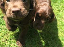 Working cocker spaniel pups