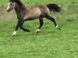Beautiful dun  section d yearling filly