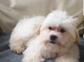 Maltipoo  Gorgeous small puppy boy ~readh now
