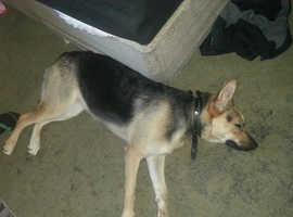 daja year old german shepherd