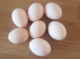 Pekin bantam hatching eggs