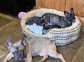 3/4 french bulldog puppies