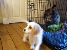 Cavalier cross poodle pup