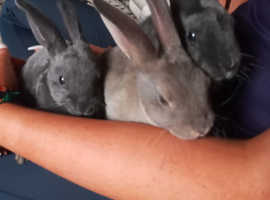 Beautiful baby rex bunnys for sale